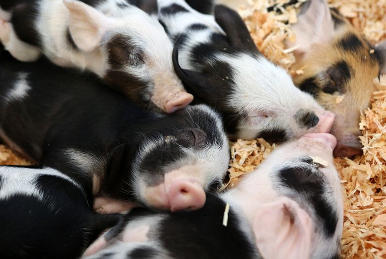 Piglets snuggle with mom after nursing at the Evergreen State Fair in Monroe. The fair begins Thursday, Aug. 27. (Ken Lambert/The Seattle Times)