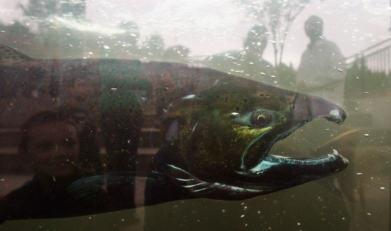 A chinook salmon at the Issaquah Salmon Hatchery. The hatchery is one of several places where visitors can see salmon as they return to spawn. Issaquah also hosts its annual Salmon Days festival this weekend, Oct. 3 and Oct. 4.  (Alan Berner/The Seattle Times)