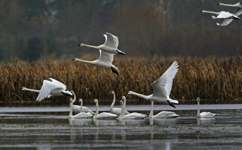 """Learn about prime viewing spots for watching trumpeter swans at Christianson's Nursery on Saturday, Dec. 5. For more information see the listing under """"Animal events.""""  (Mark Harrison/The Seattle Times)"""