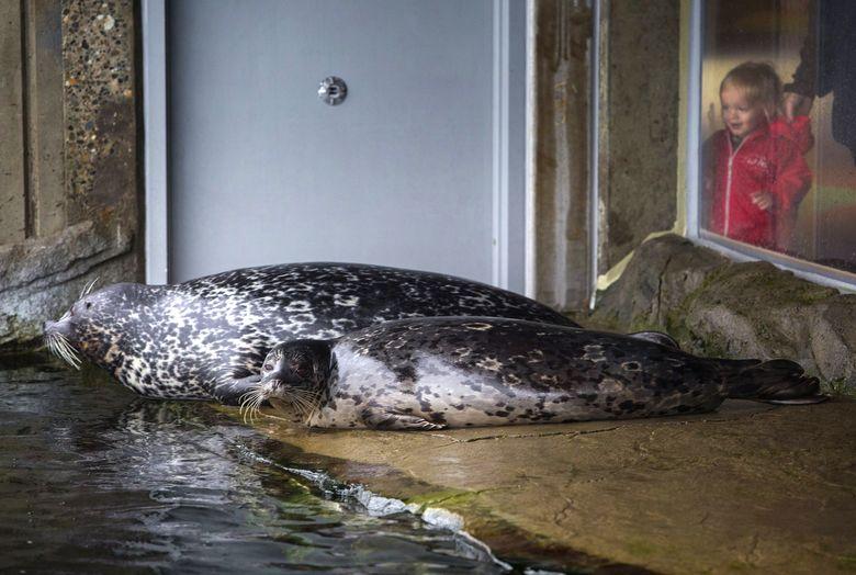 Seamus Coble checked out Seattle Aquarium's harbor seal, Hogan, last December. Six major exhibits house aquarium creatures.  (Ellen M. Banner/The Seattle Times)