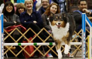A competitor on the agility course at the Seattle Kennel Club Dog Show. This year's show is March 12-13. (Alan Berner/The Seattle Times)