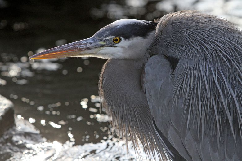 """Look for great blue herons and learn about the birds with the Eastside Audubon Society today, March 4. For more information, see the listing under """"Animal events.""""  (Greg Gilbert/The Seattle Times)"""