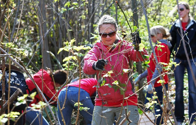 """Christina Riffle pulls up a vine of invasive English ivy as volunteers helped restore the wildlife corridor adjacent to Kiwanis Ravine during a past Earth Day outing. For Earth Day work parties, festivals and activities this weekend, see the listings under """"Earth Day events."""" (Mark Harrison/The Seattle Times)"""