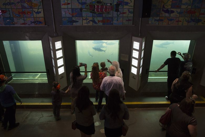 Visitors watch sockeye salmon as they journey upstream in the viewing room at the Hiram M. Chittenden Locks on a recent day in Seattle. (Sophia Nahli Allison / The Seattle Times)