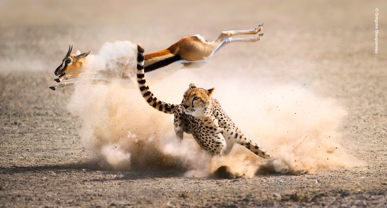"""In this photo provided by BBC America, from """"The Hunt"""",  a Thomson's gazelle leaps away from a cheetah's trip in Kenya. """"The Hunt,"""" a seven-part documentary series from the creators of the landmark """"Planet Earth,"""" presents the case for reconsidering predators as the bad guys of the natural world. Through its storytelling approach, """"The Hunt"""" attempts to put each predator's quest in context. """"When you see a cheetah hunting and you realize she has four 8-month-old cubs and they will starve if she doesn't kill, then you're with the predator more,"""" said executive producer Alastair Fothergill.  (Grégoire Bouguereau/BBC America via AP)"""