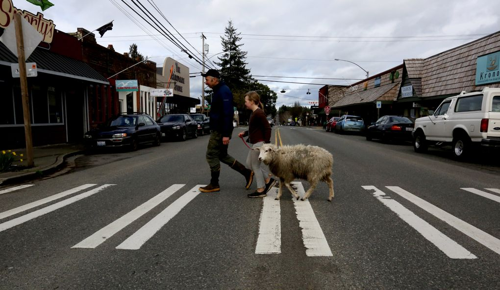 """It's not Abbey Road, but instead downtown Vashon Island, where Noodle the sheep is running for honorary """"mayor,"""" as part of a charity fundraiser. Joe Yarkin and daughter Madeline took Noodle with them on a campaign tour. Popular bumperstickers around town read, """"Keep Vashon Weird."""" (Alan Berner/The Seattle Times)"""