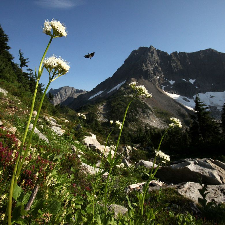 Sitka valerian blooms in heather meadows along the trail to Cascade Pass in North Cascades National Park. The park, bisected by the North Cascades Highway, is part of a complex that includes Ross Lake and Lake Chelan national recreation<br/> areas. (Erika Schultz/The Seattle Times)