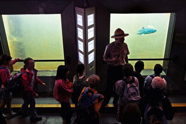 Enjoy salmon viewing at the Ballard Locks. (Mark Harrison/The Seattle Times)