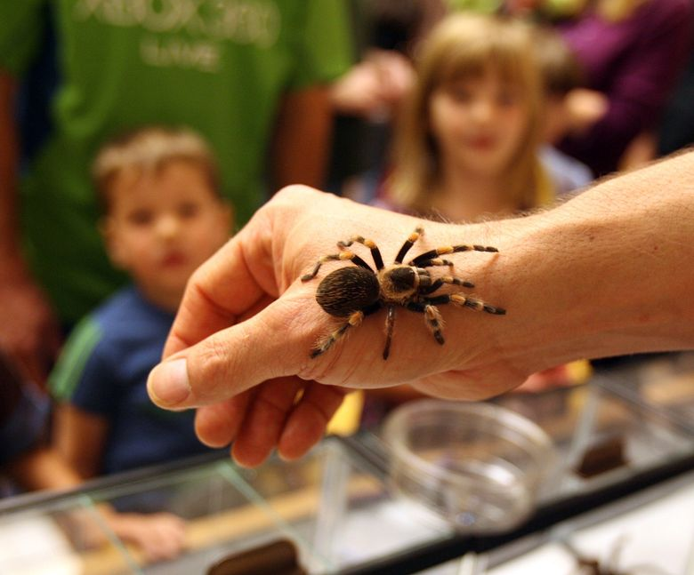 The annual Bug Blast at The Burke is Sept. 18, and it includes arachnids, too. (Greg Gilbert/The Seattle Times)