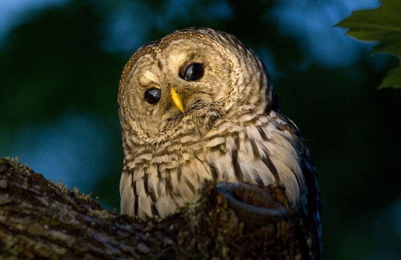 """Join an owl prowl in Seward Park on Friday, Sept. 9. For more information, see the listing under """"Park events."""" (Chris Joseph Taylor/The Seattle Times)"""