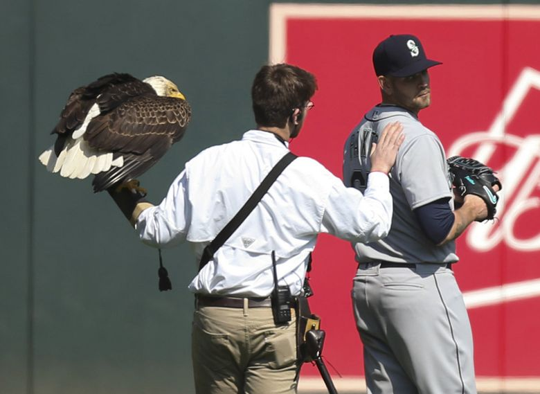 The handler for an American eagle that was to fly to the pitcher's mound during the national anthem pats Seattle Mariners starting pitcher James Paxton, a Canadian, after the eagle chose to land on his shoulder instead. (Jeff Wheeler / The Associated Press)