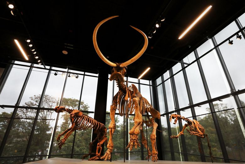 One of the most dramatic displays at the Burke Museum is of a mammoth flanked by a giant ground sloth, left, and a saber-toothed cat. (Alan Berner / Seattle Times)