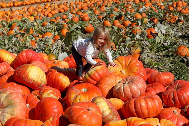 A barefoot Regan Wallace, 3, of Burien, explores Carpinito Brothers U-Pick pumpkin patch in Kent on Tuesday, Oct. 1. The multi-acre farm is at 27508 W. Valley Highway N. and open 9 a.m.-6 p.m. daily through Oct. 31. (Greg Gilbert / The Seattle Times)