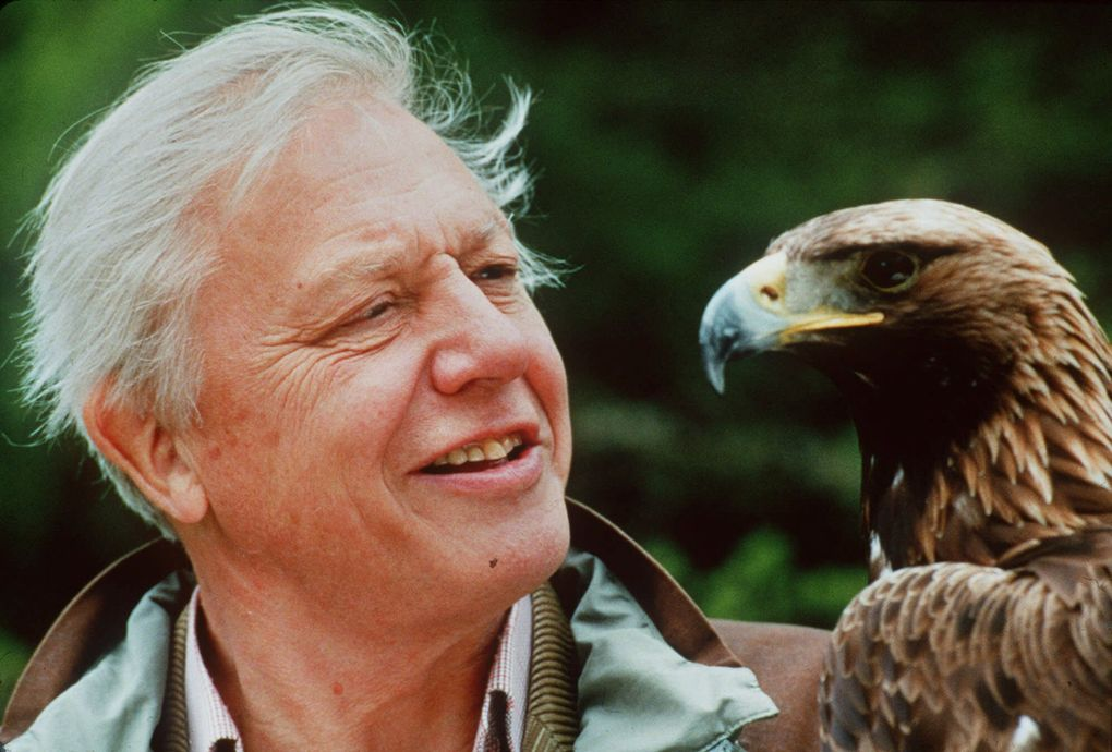 """British naturalist David Attenborough, shown here with a Golden Eagle in this undated file photo, is the host of the PBS series """"Life of Birds,"""" which you can now also stream via Amazon Prime Video.  (AP Photo/Miles Barton)"""