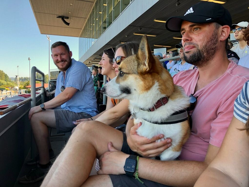 Corgi Zoe sits happily in the stands at Emerald Downs after she lost a qualifying race. (Chris Cole / The Seattle TImes)
